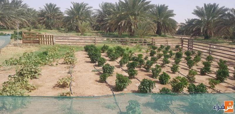 للبيع بالمزاد العلني مزرعة ورثة محمد علي الجمعة في اثيثية