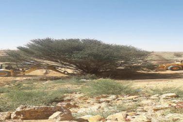 مكتب وزارة البيئة والمياه والزراعة بمحافظة شقراء يعيد شجرة معمرة.
